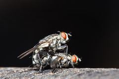 Macro flies. Mating bluebottle flies. stock photography