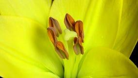 Macro Floración hermosa del brote de flor del amarillo de la primavera almacen de video