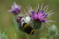 Macro of a floral Caucasian spider Misumena caught a bumblebee B. Ombus lucorum on a purple inflorescence of a burdock in the summer stock photo