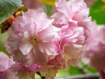 Macro floral das flores de cerejeira da fantasia fotos de stock