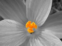 Macro floral world. Closeup of crocus pistil royalty free stock photography