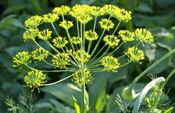 Macro floreciente del eneldo Fotografía de archivo