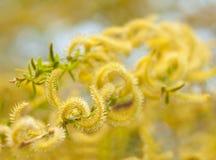 Macro floreciente del sauce de la ramita Foto de archivo