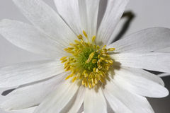 Macro flower. Extreme close-up of a white daisy royalty free stock photography