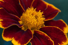 Macro of flower Royalty Free Stock Photo