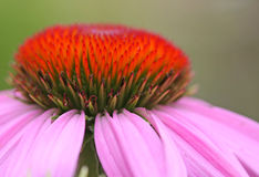 Macro flower. Macro photo of the center of a pink cone flower Stock Images