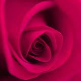 Macro flower beautiful rose Stock Photography