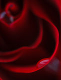 Macro flower beautiful rose. For a background image Stock Photos