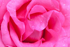 Macro flower beautiful rose for a background image Stock Images