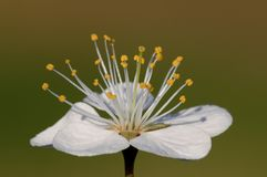 Macro flower of Blackthorn Royalty Free Stock Image