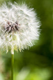 Macro Flower. Close macro photo of a dandelion, ready to blow away on the wind royalty free stock image