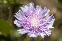 Macro Flower. Close macro photo of a purple flower in bloom stock photos