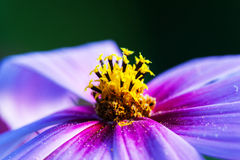 Macro of the flower. Close-Up. Shallow DOF, focus on stamens and pollen Stock Images