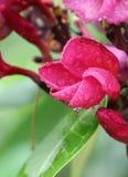 Macro flower frangipani. Macro flower and blurry background stock photo