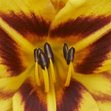 Macro flower lily Royalty Free Stock Images