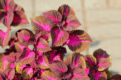 Macro of flower with pink and brown leaves Royalty Free Stock Photo