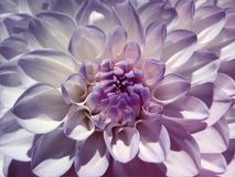Macro  flower purple-white  dahlia.  Background from a flower. Closeup. Stock Photography