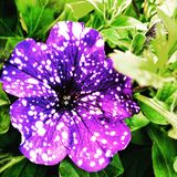 Galaxy petunia royalty free stock images