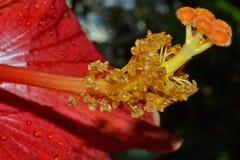Macro Flower Stamen with Water Beads Stock Photos