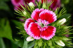 Macro of a flower (Sweetwilliam, Dianthus barbatus, Bartnelke) Stock Photos