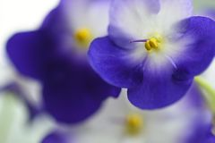 Macro flower violet close-up on a light background. Macro flower violet close-up on light background Royalty Free Stock Photos