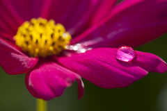 Macro Flower Water Drop. Macro shot of maroon and yellow flower with water drop Stock Photo