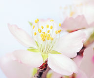 Macro of a flowering almond tree flower. Shalow DOF Stock Photography