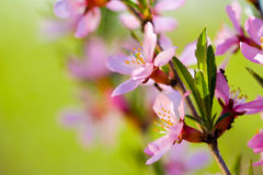 Macro of flowers of almond tree Stock Photography