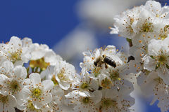 Macro flowers and bee Royalty Free Stock Images