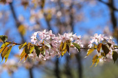 Macro flowers blooming cherry Royalty Free Stock Photography