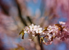 Macro flowers blooming cherry Stock Image