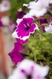 Macro flowers petunias Stock Images
