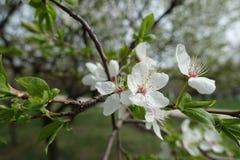Macro of flowers of Prunus cerasifera. In spring stock image