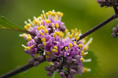 Macro  flowers pystil. Macro, close up, detail of flower rainy day Stock Photo
