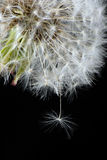 Macro fluffy dandelion with seed Royalty Free Stock Images