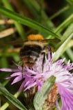 Macro of fluffy orange Caucasian bumblebee Bombus pascuoruma with a striped abdomen sitting on flower cornflowe. Macro of fluffy orange Caucasian bumblebee stock photos
