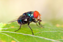 Macro of a fly. Sitting on a leaf washing its hands Royalty Free Stock Photo