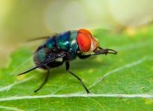 Macro of a fly Royalty Free Stock Photos