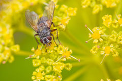 Macro of a fly. Close up of a phrynovetula sitting on a flower Stock Photo