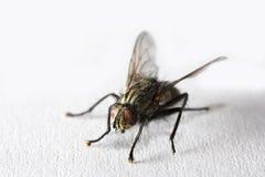 Macro fly Stock Photo