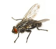 Macro fly. An extreme macro photo of a typical house fly royalty free stock photo