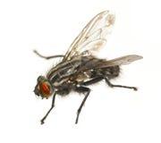 Macro fly Royalty Free Stock Photo