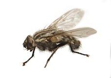 Macro fly Stock Image