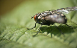 Macro Fly Royalty Free Stock Image