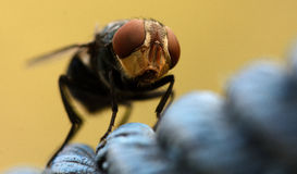 Macro Fly. An extreme closeup of a domestic fly which is sitting on a piece of rope Royalty Free Stock Photography