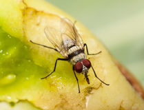 Macro, fly feeding on a rotting tomato Stock Photos