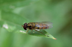 Macro fly Royalty Free Stock Images