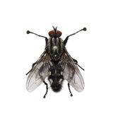 Macro fly isolated on white Stock Images