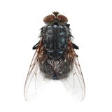 Macro fly isolated on white Stock Photo