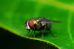 Macro of a fly. On a leaf Stock Images
